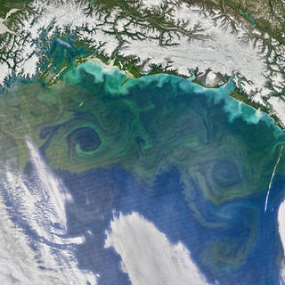 Satellite image of phytoplankton bloom in the Gulf of Mexico